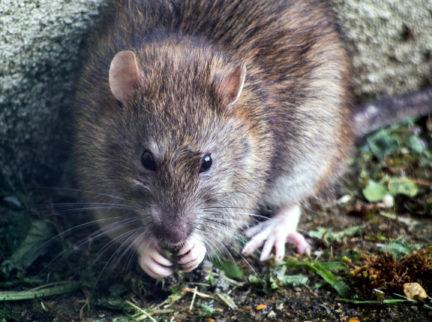 rotta syö